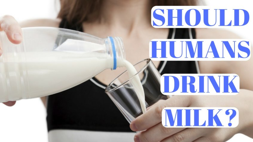 Should Humans Drink Milk