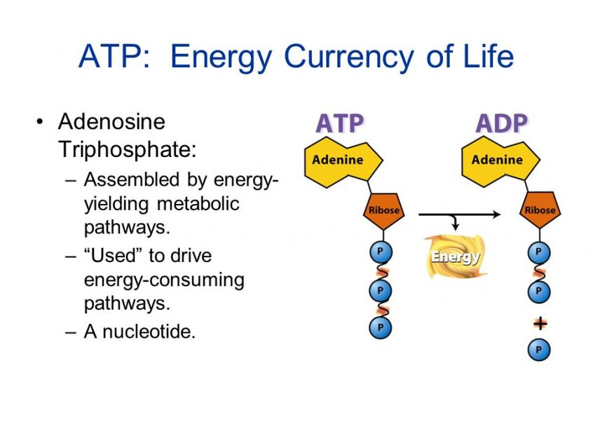 Why ATP Is Called The Currency Of Energy